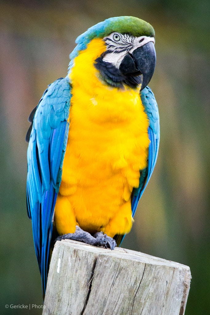 Yelllow and blue Macaw